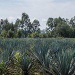 Campo de agave a la Destilería El Ranchito (hi-res JPEG)